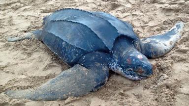 Leatherback: Turtle found dead on Scottish beach.