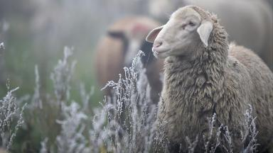 Sheep: Incidents on the rise, say police (file pic).