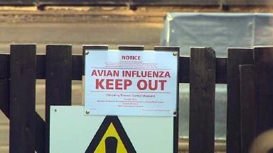 Bird flu: Strain described as 'very mild'.