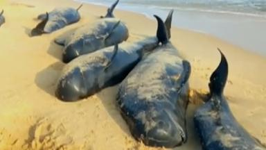 The stranded whales on the beach