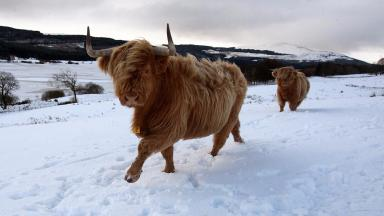 Highland cow in snow in Highlands. Uploaded from PA January 15 2016