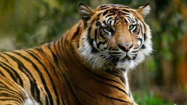 Zookeeper Che: Worker was mauled by a Sumatran tiger.