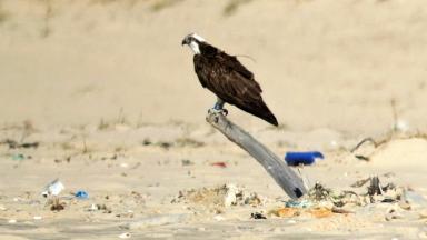 Blue YD: Osprey found on beach in Senegal.