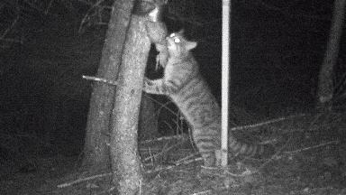 Wildcat: Elusive feline 'caught on camera'.