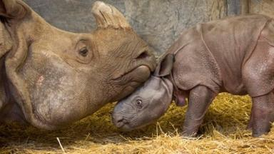 The baby Indian rhinoceros was born on Wednesday at Toronto Zoo.