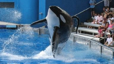 An orca in one of SeaWorld's parks.