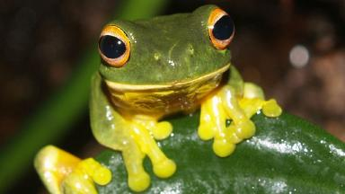 Beauty: Orange-eyed green tree frog.