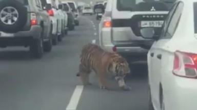 The tiger was spotted roaming between cars on the motorway