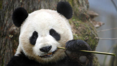 Yang Guang: The pandas will arrive this weekend.