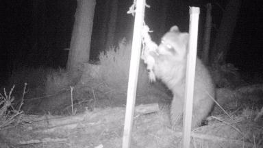 Racoon: Capable of giving a 'nasty bite if cornered'.