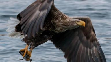 White tailed Eagle on Mull (SFTR)