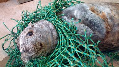 Tangled: Grey seal found caught up in nets on beach.