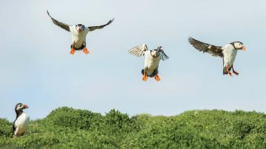 Puffins come in to land on the Isle of May.