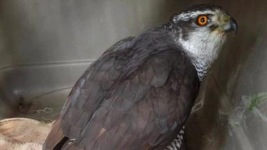 Bart: The goshawk had a small metal bullet stuck in his chest.