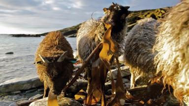 North Ronaldsay: Sheep survive on a diet of seaweed.