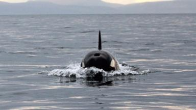 Killer whales: Pod of orcas seen in Moray Firth.