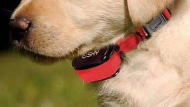 Shock collar-wearing dog generic/stock shot re-uploaded May 25 2016
