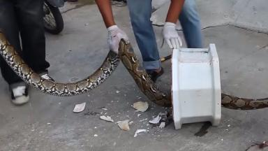 Python: The huge snake was lying in wait in the toilet.