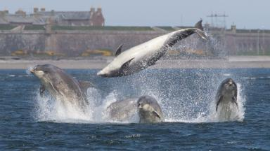 Bottlenose dolphins at Chanonry Point in May 2016. FIRST TIME USE ONLY.
