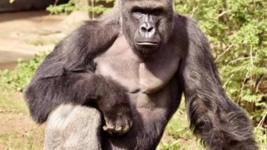 Harambe was shot and killed after a child fell into his enclosure
