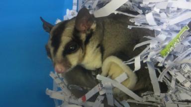 Possum: Woman 'got a bit of a fright' after finding sugar glider.