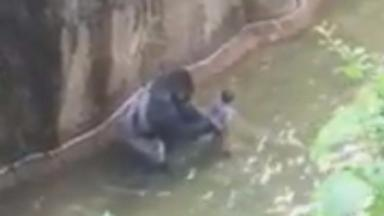 Harambe with the child