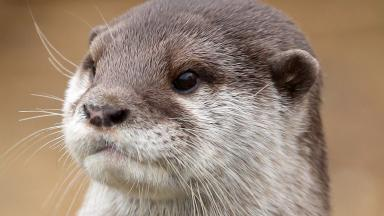 Otter: The animal was discovered at Clickimin Loch (file pic).