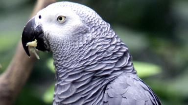 File photo of an African grey parrot - the same species as Bud, which may have witnessed his owner's death.