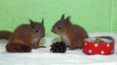 Rescued: The squirrels are being hand-reared in Elgin.