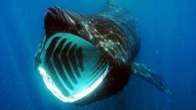 News Now: basking sharks return