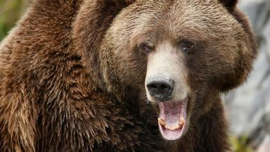This is not the actual bear suspected of carrying out the attacks.