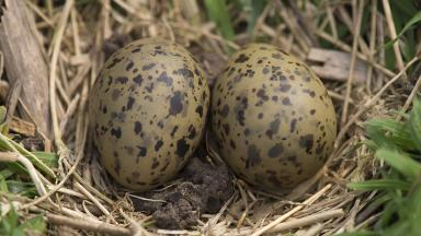 Tern eggs: The 73-year-old was caught on Shapinsay (file pic).