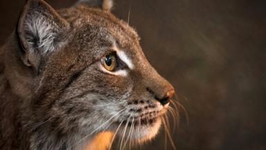 Lynx: Plans to reintroduce species after 1300 years (file pic).