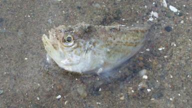 Weever: Poisonous fish spotted on Ayr Beach.