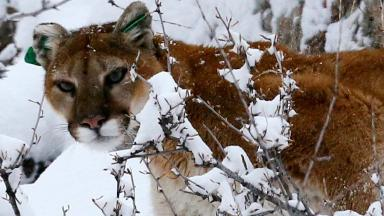 Mountain lions are usually quiet and elusive
