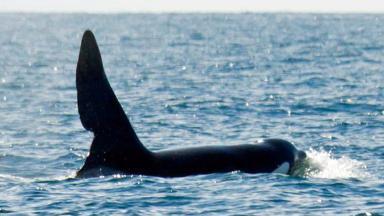John Coe: Orca caught on camera near Coll.
