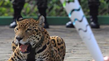 Jaguar Juma escaped from her handlers and was shot