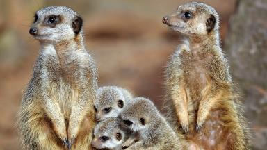 Zoo closure: Meerkats will be rehomed (file pic).