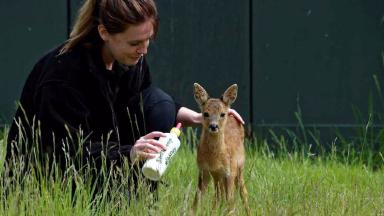 Recovering: Soay with wildlife assistant April Sorely.