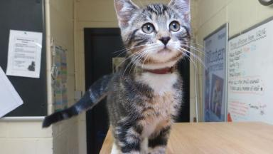 Molly: The kitten is being looked after by the Scottish SPCA in Angus.