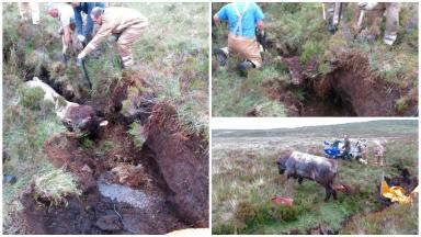 Bull: The beast was found two days after it got stuck on Skye.