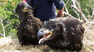 Names: The sea eagle chicks are two months old.