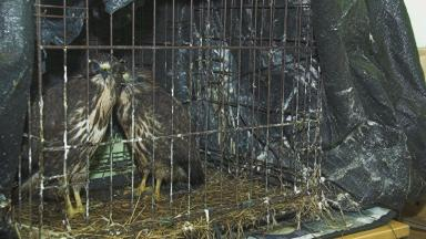 Dumped: The buzzards are now in the care of the Scottish SPCA.