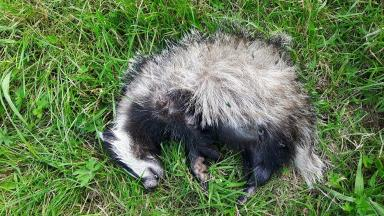 Badger: The animal was found dead in woodland in Motherwell.
