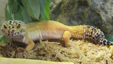 Rescued: Ozzy the leopard gecko needs a new home.