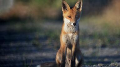 Quality generic of a red fox
