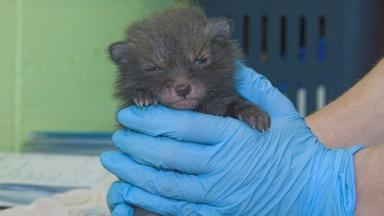 Saved: Utah the fox cub was rescued by the Scottish SPCA and released back into the wild