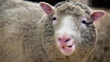 Sheep worrying: The case was dropped by the Crown (file pic).