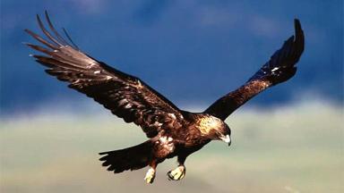 Golden Eagles - News Now