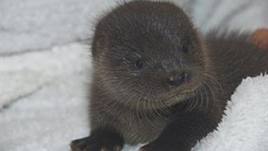 Trickle: The young female otter was found in Dumfries and Galloway.